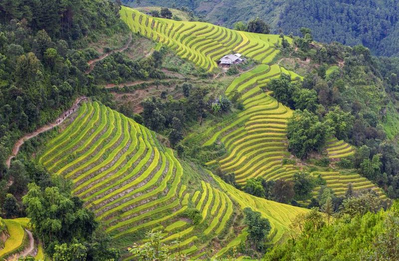 Konventionelle Teegärten in der Nachbarschaft wilder alter Teebäume in Ha Giang, Vietnam