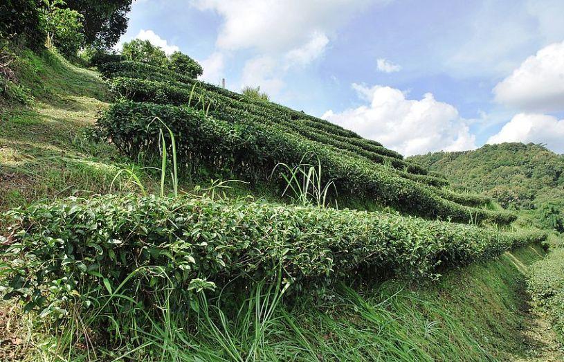 Camellia Sinensis Sinensis - Die Buschform der Teepflanze (hier taiwanesischer Oolong-Tee-Kultivar in Nordthailand)