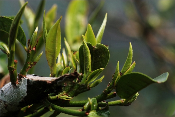 Yunnan tea tree - driving new shoots after cut-back