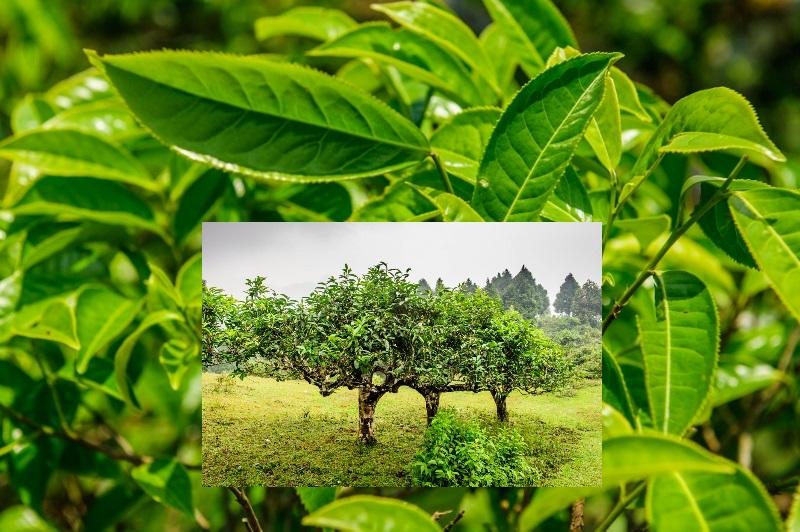Tuyet Shan Teebaum-Varietaet, Vietnam