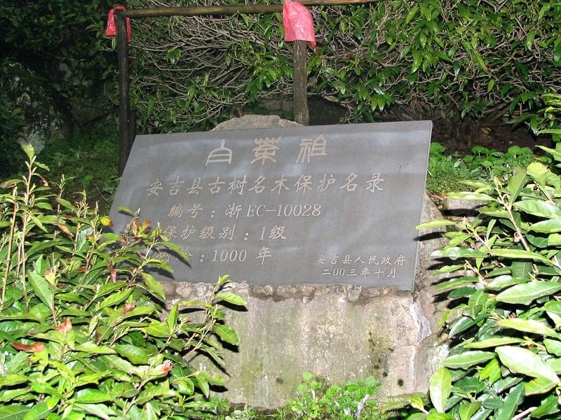 Anji Bai Cha Motherbushes in Anji, Zhejiang
