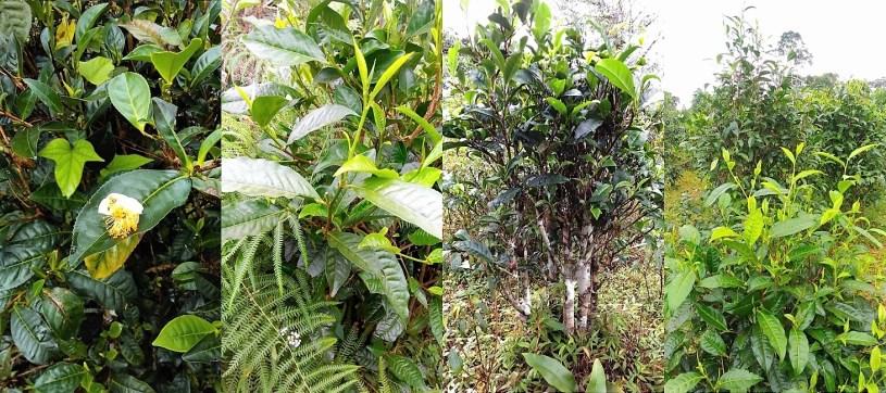 Kinnari Tee, Laos - Kinnari Teebäume und Teegärten : biodiverse Kultivation