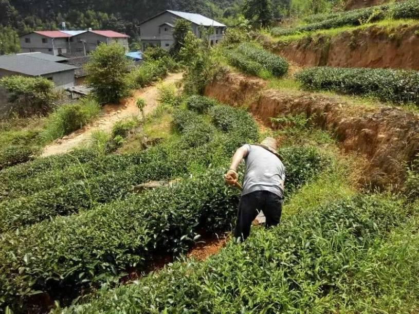 """""""Rock""""-Teegarten der Familie Chen in Wuyishans Zhengyan-Gebiet"""