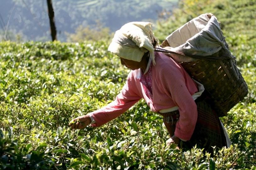 Darjeeling Tea - Tea Picker in India