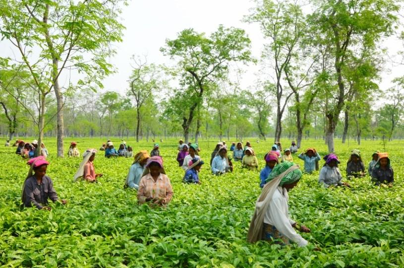 Teepflücker in Darjeeling