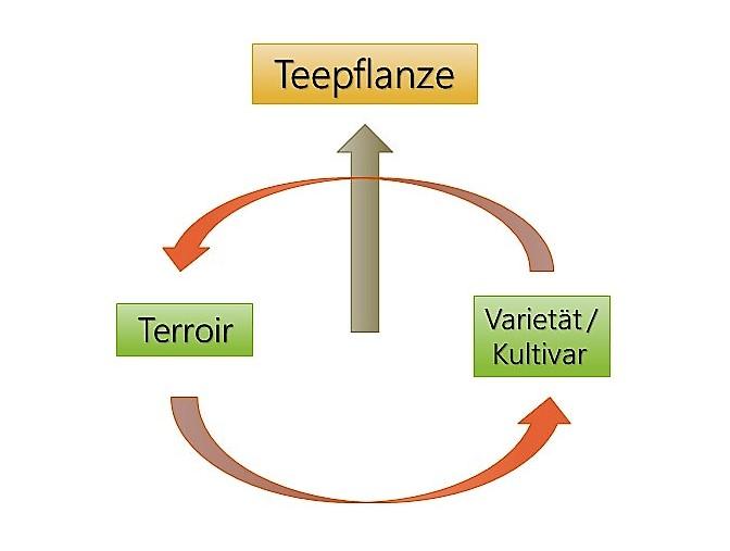 Terroir + Kultivar = Teepflanze