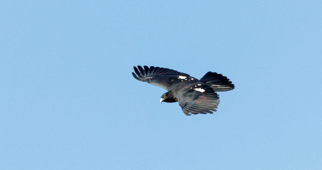 Black Baza Birds of Thailand
