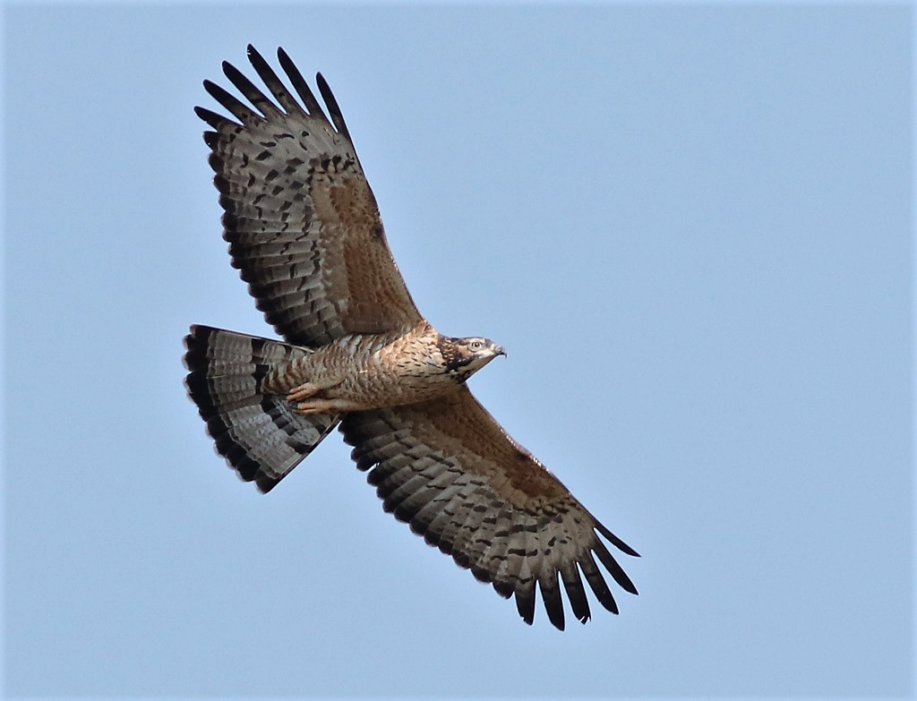 large bird of prey Thailand winter migrant