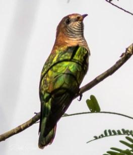 beautiful green cuckoo from thailand