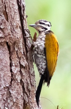 Common Flameback(F)