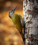 Grey-headed Woodpecker(M)