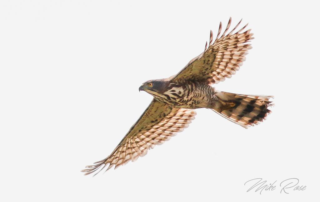 An Accipiter species found in thailand