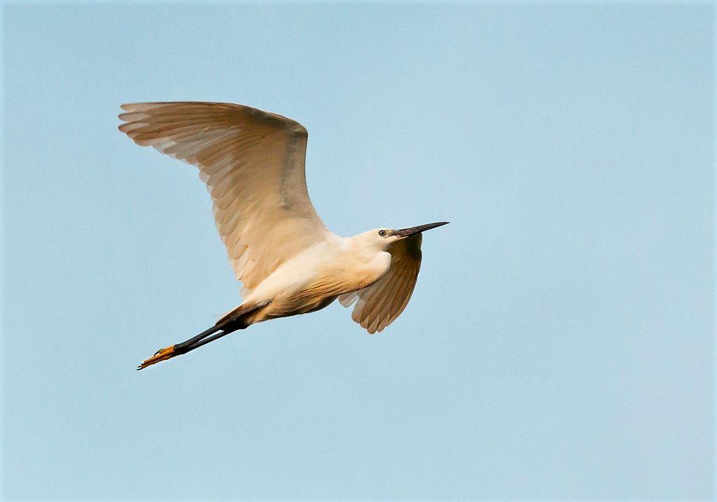 Little Egret birds of Thailand