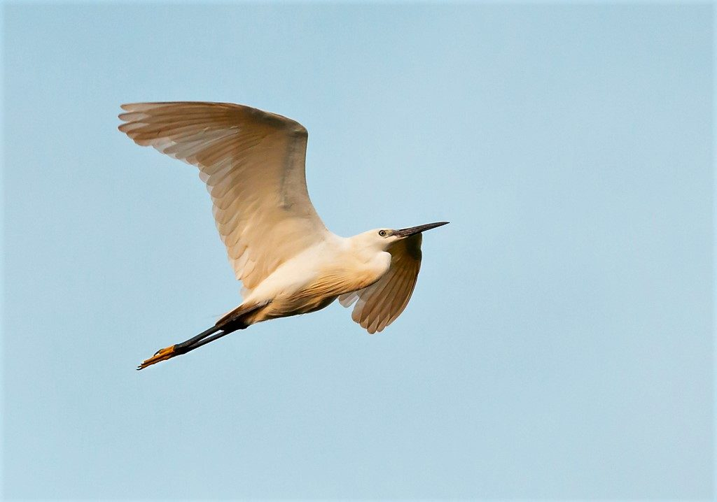 Little Egret birds of Thailand