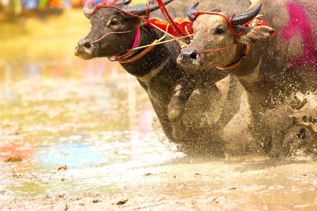 Buffalos competing in the Pattaya Buffalo Races. Thailand Event Guide