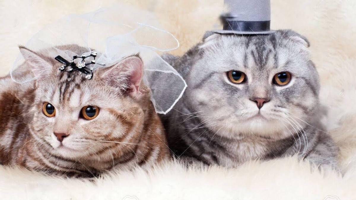Thai Culture Cat Wedding
