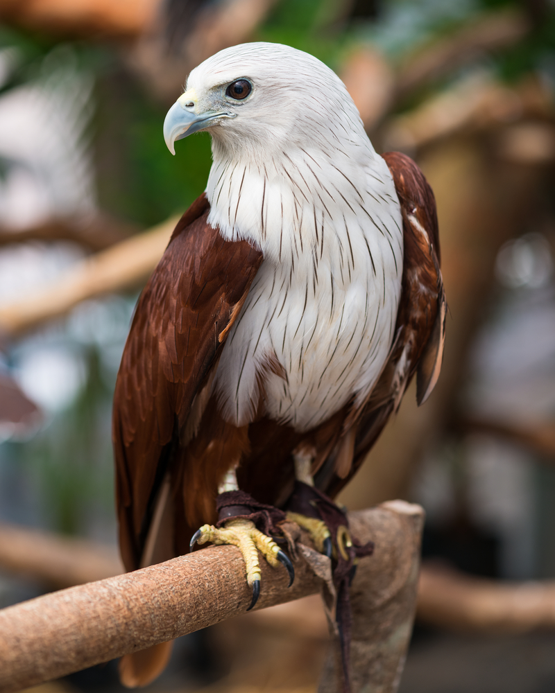 Red-backed sea eagle with white head