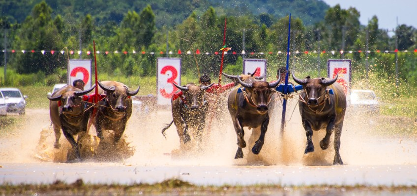 Buffalo racing at Chonburi Thailand