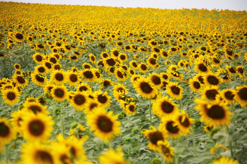 ทานตะวัน (Sunflower)