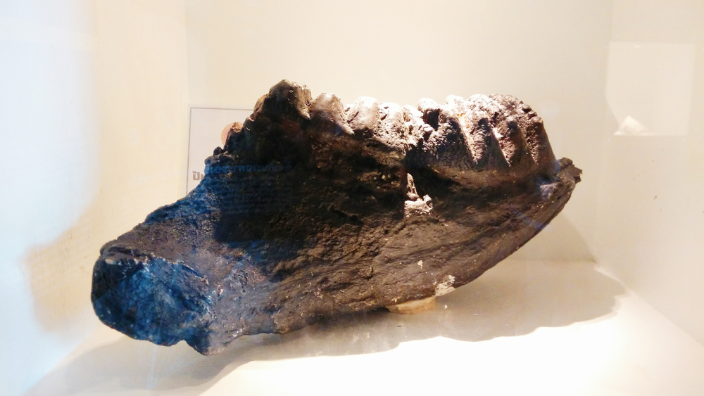 the Stegodon elephant's jaw fossils
