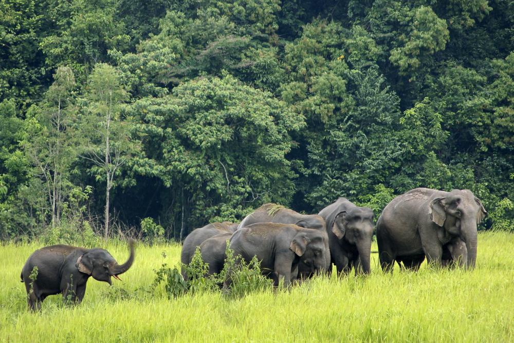 Elephants at Khao Yai