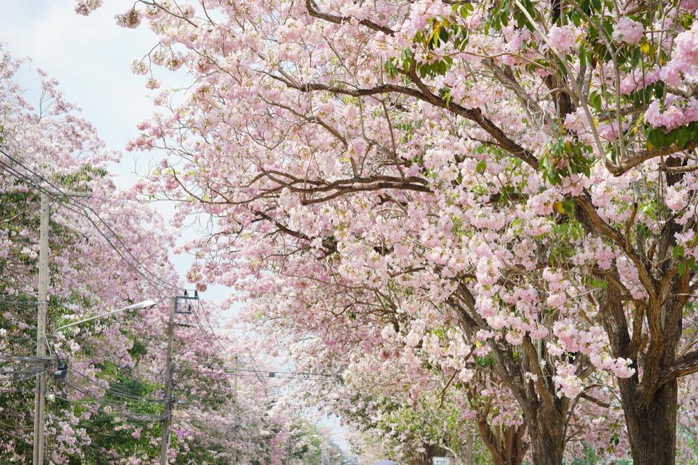 Rosy trumpet tree (ชมพูพันธุ์ทิพย์)