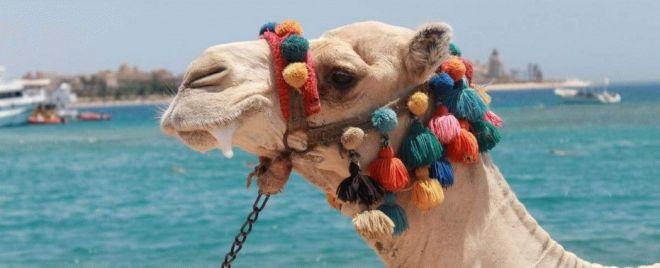 Шарм-эль-Шейх верблюди
