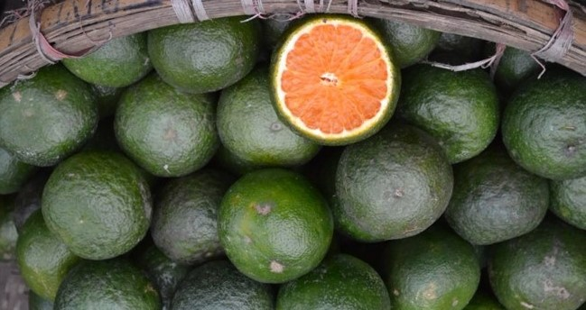 Фрукты Вьетнама «Зеленый» апельсин