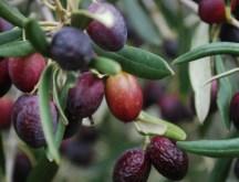Оливки из Туниса