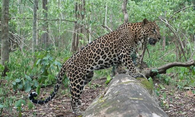Леопарды в Таиланде