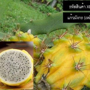 เมล็ดพันธุ์แก้วมังกร(เหลือง) - Yellow Dragon Fruit