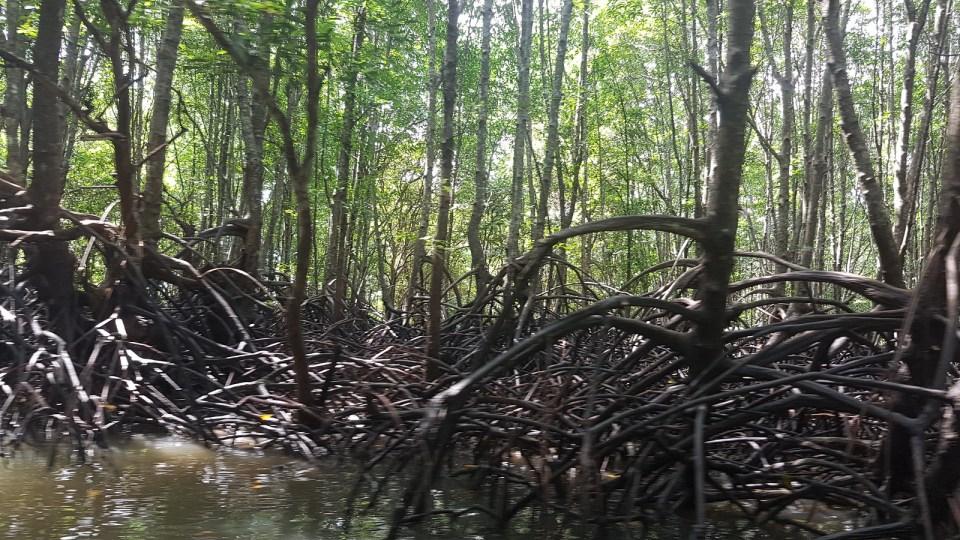 Mangroves Koh Klang and Krabi river