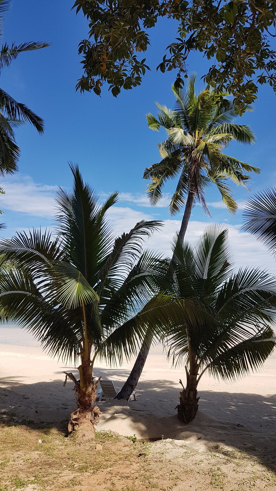 Palm trees. Koh Talu uses to be famous for its plantations