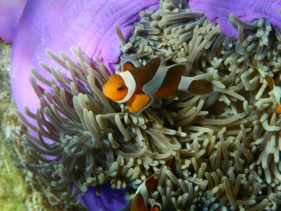 1000 - 07 - Steffanie M. - Koh Rok Anemonenfisch