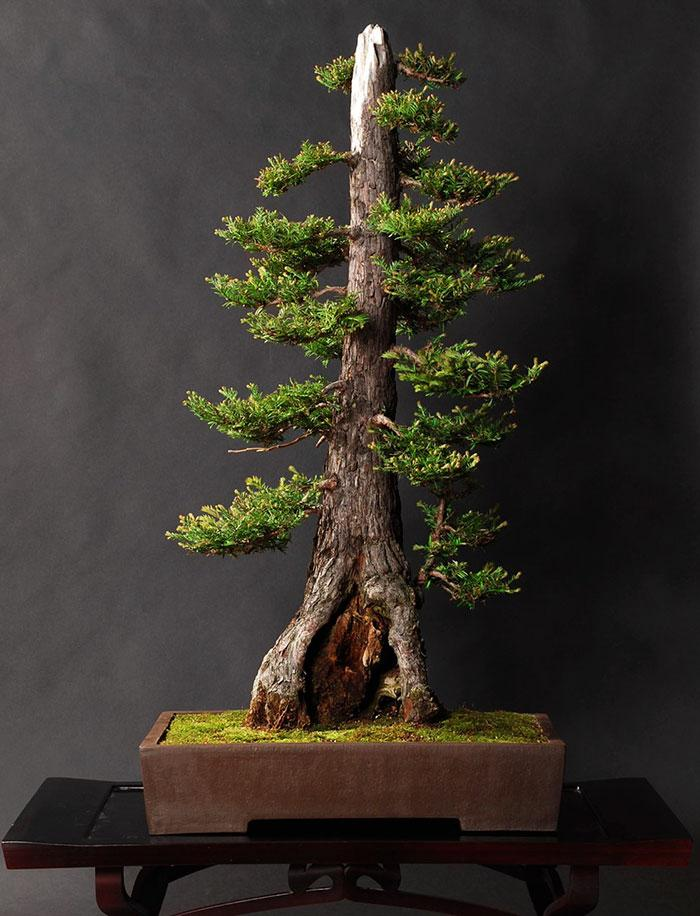 como cultivar bonsai sequoia