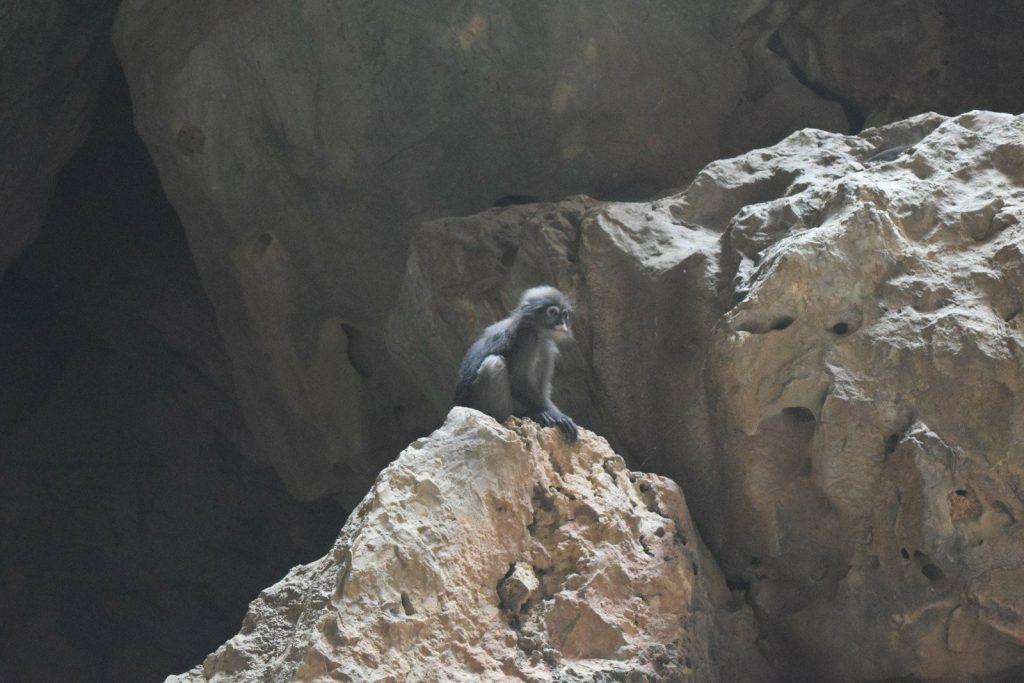 dusjy langurs phraya nakhon cave