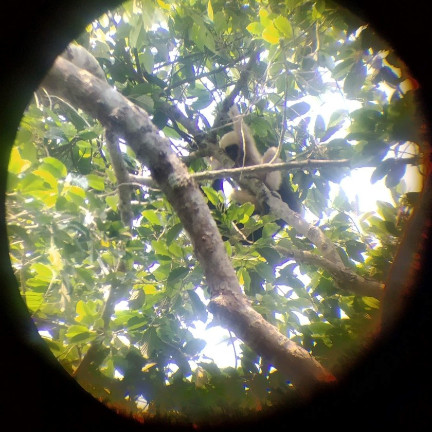 khao yai baby gibbon