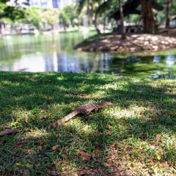 Monitor lizard in Lumpini Park Bangkok