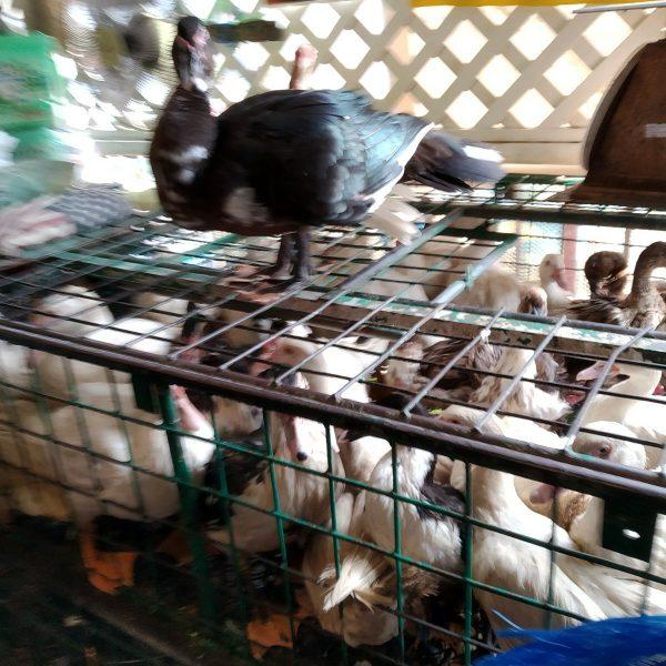 chickens at khlong toei market bangkok