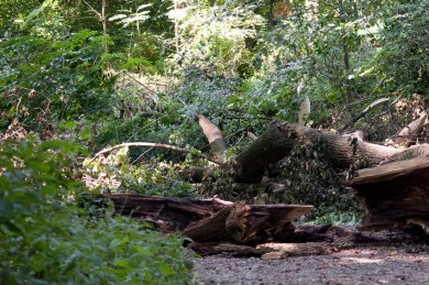More of the fallen tree.