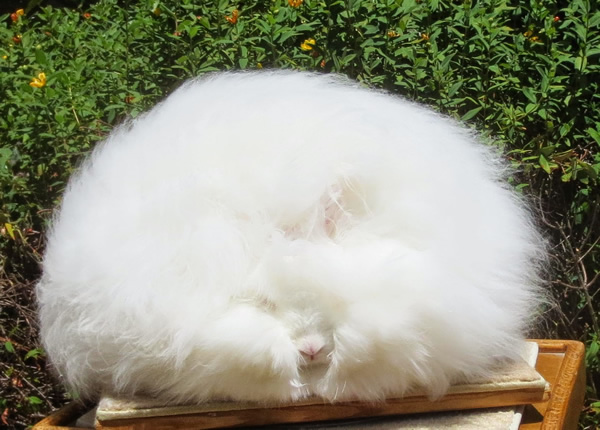 english-angora-rabbit-1