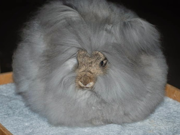 english-angora-rabbit-3