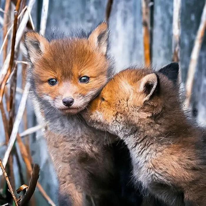 Afbeeldingsresultaat voor Fotos van vossen