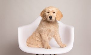 Goldendoodle dog sitting on chair 1 What Should You Know Before Adopting Goldendoodle Puppies?
