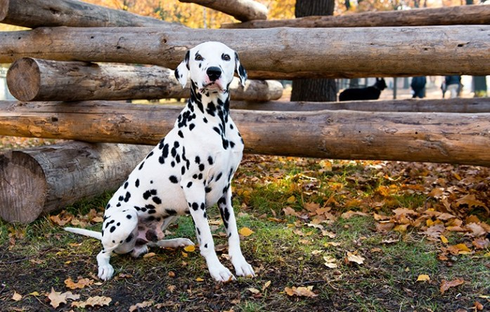 Dalmatian seats near logs