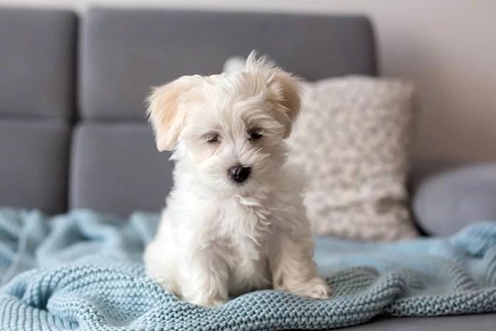 Cute little maltese dog puppy
