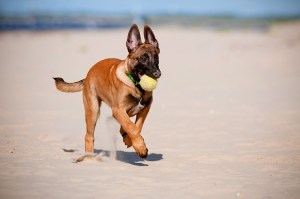 Belgian Malinois Puppies - Your Family's Fascinating Members