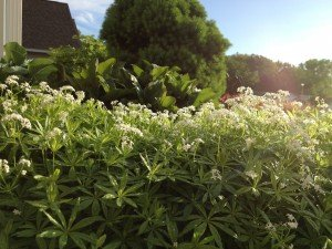 """Sweet Woodruff is an herbal groundcover used to float or """"steep"""" in white wine (thank our German friends) to make a great tasting white wine for a sunny May day!"""