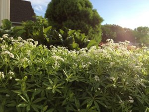 "Sweet Woodruff is an herbal groundcover used to float or ""steep"" in white wine (thank our German friends) to make a great tasting white wine for a sunny May day!"