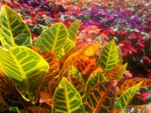 Colorful Crotons are great for use outdoors in summer and add color indoors in winter